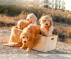 Goldendoodle Dog Breeder in OXNARD,  USA