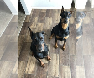 Main photo of Doberman Pinscher Dog Breeder near CALHAN, CO, USA