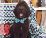 Aussiedoodle Breeder in WAUSEON, OH, USA