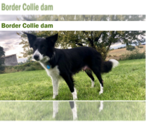 Belgian Malinois-Border Collie Mix Dog Breeder in MERIDIAN,  USA