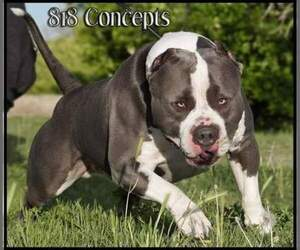 Main photo of American Bully Dog Breeder near PHOENIX, AZ, USA