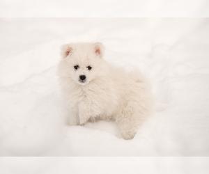 Main photo of Miniature American Eskimo Dog Breeder near DARBY, MT, USA