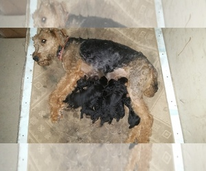 Airedale Terrier Breeder in PIERPONT, OH, USA