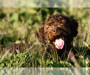 Lagotto Romagnolo Dog Breeder in SEYMOUR,  USA