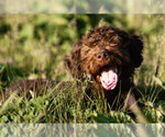 Lagotto Romagnolo Breeder in SEYMOUR, MO, USA
