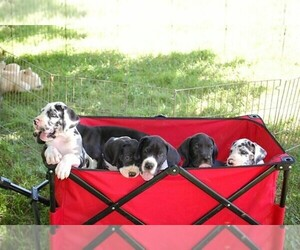 Main photo of Great Dane Dog Breeder near SPRINGFIELD, MO, USA