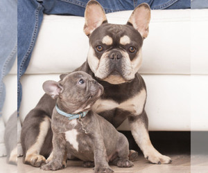 Main photo of French Bulldog Dog Breeder near LOX, FL, USA