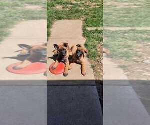 Main photo of Belgian Malinois Dog Breeder near LAKE NEPESSING, MI, USA