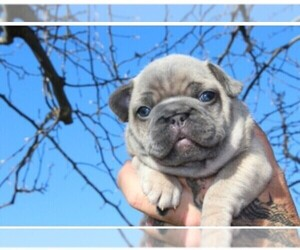 Main photo of French Bulldog Dog Breeder near MURRIETA, CA, USA