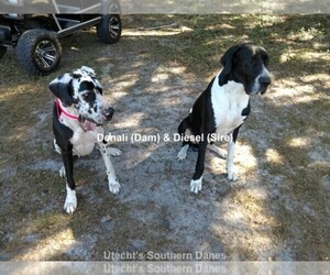 Main photo of Great Dane Dog Breeder near LAKE PARK, GA, USA