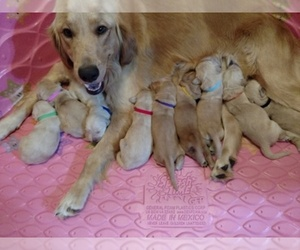 Main photo of Golden Retriever Dog Breeder near WEATHERFORD, TX, USA