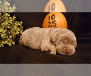 Main photo of Labrador Retriever Dog Breeder near CATAWISSA, MO, USA