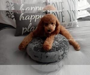 Goldendoodle Dog Breeder in RUSKIN,  USA