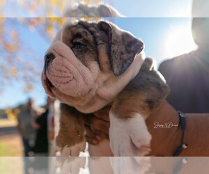 Main photo of Bulldog Dog Breeder near VICTORIA, TX, USA