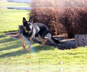 Main photo of German Shepherd Dog Dog Breeder near EAGLE, ID, USA