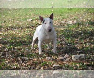 Staffordshire Bull Terrier Breeder in ROMA, TX