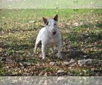 Staffordshire Bull Terrier Breeder in ROMA, TX, USA