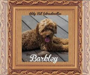 Main photo of Labradoodle-Yorkie-Poo Mix Dog Breeder near BOYERS JUNCTION, PA, USA