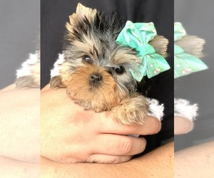 Yorkshire Terrier Dog Breeder in CORAL SPRINGS,  USA