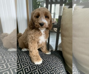 Goldendoodle-Poodle (Standard) Mix Dog Breeder in RICHMOND,  USA