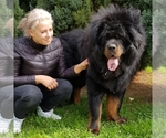 Tibetan Mastiff Breeder in Balatonszabadi, HU.17, Hungary