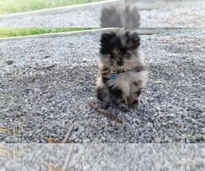 Pomeranian Breeder in BETHEL, OH