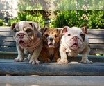 French Bulldog Breeder in PALO ALTO, CA, USA