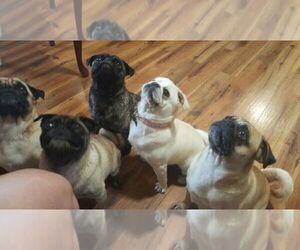 Main photo of Pug Dog Breeder near SALEM, OR, USA