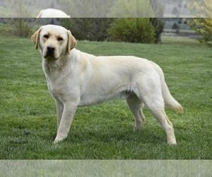 Main photo of Labrador Retriever Dog Breeder near ALTURAS, CA, USA
