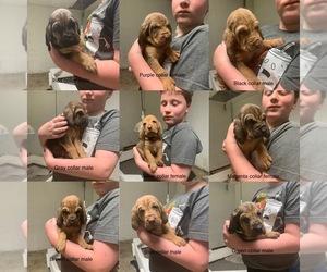 Bloodhound Dog Breeder near NINEVEH, IN, USA