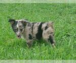 Australian Shepherd Breeder in NEWBERN, TN, USA