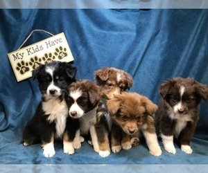 Main photo of Miniature Australian Shepherd Dog Breeder near FORESTBURG, TX, USA