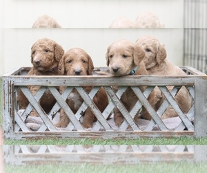 Labradoodle Dog Breeder in DRIPPING SPGS,  USA