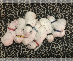 Dalmatian Dog Breeder near LINCOLN, NE, USA