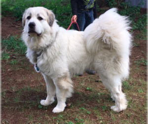 Main photo of Great Pyrenees Dog Breeder near SPOONER, WI, USA
