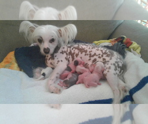 Chinese Crested Dog Breeder near MYRTLE BEACH, SC, USA