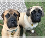 Mastiff Breeder in MIDDLETOWN, NY, USA