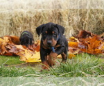 Doberman Pinscher Breeder in VADER, WA, USA