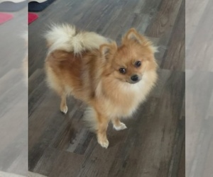 Main photo of Pomeranian Dog Breeder near REDDICK, FL, USA