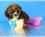 Shih Tzu Breeder in SOUTHBURY, CT, USA