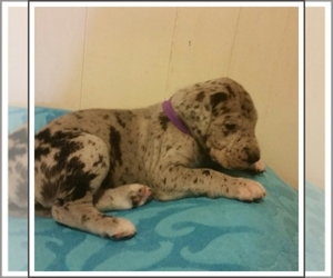 Main photo of Great Dane Dog Breeder near ODESSA, TX, USA