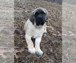 Mastiff Breeder in WESTVILLE, OK, USA
