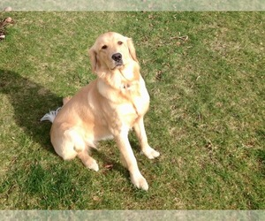 Golden Retriever Breeder in MORAVIA, NY