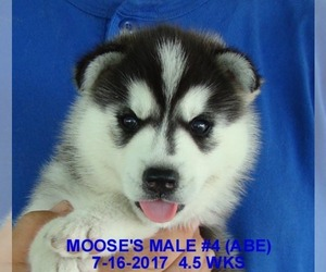 Main photo of Siberian Husky Dog Breeder near MANILLA, IA, USA