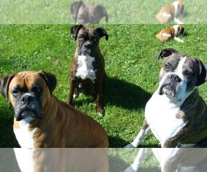 Main photo of Boxer Dog Breeder near WESTVILLE, IN, USA