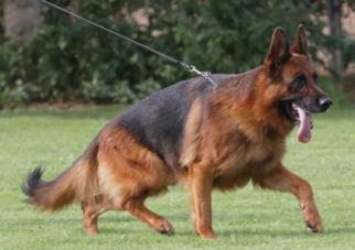 German Shepherd Dog Breeder in DULUTH, GA