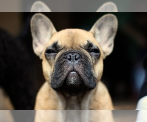 Main photo of French Bulldog Dog Breeder near HUNTINGTN BCH, CA, USA