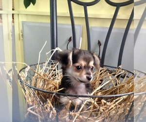 Chihuahua Dog Breeder in MERIDIAN,  USA