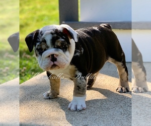 Main photo of Bulldog Dog Breeder near OXFORD, CT, USA
