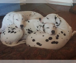 Dalmatian Dog Breeder near MURFREESBORO, TN, USA